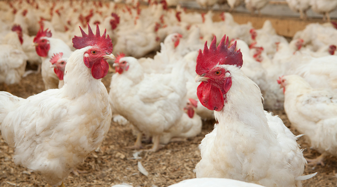 CWT-Products-Chickens